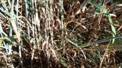 3. pszenica hondia bbch 69 – 8 czerwca 2018