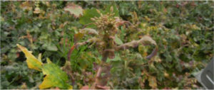 uszkodzona roślina