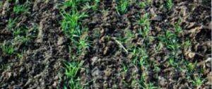 wałowanie gleby