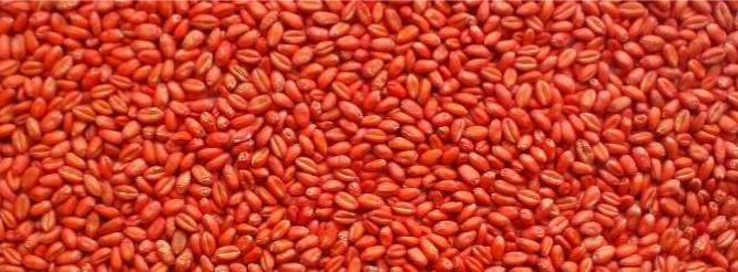 zaprawione nasiona