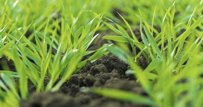 odmiany pszenicy na słabe gleby