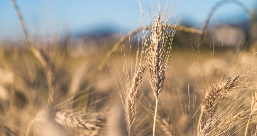 zdrowotność odmian zbóż