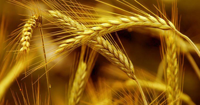 zimotrwałość zbóż